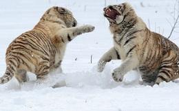 24h qua ảnh: Màn kịch chiến trên tuyết của chị em hổ trắng