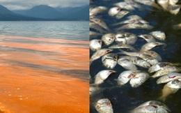 """Thủy triều đỏ - """"nghi phạm"""" thảm sát hàng loạt tôm cá thực chất là gì?"""