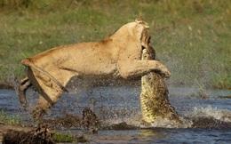 24h qua ảnh: Sư tử may mắn thoát chết khi quyết chiến với cá sấu
