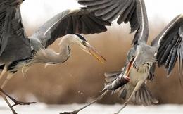 7 ngày qua ảnh: Ngoạn mục cảnh chim diệc kịch chiến tranh cướp cá