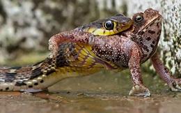 7 ngày qua ảnh: Ghê rợn rắn độc nuốt chửng ếch nhanh như chớp