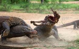 24h qua ảnh: Cuộc chiến tranh mồi đẫm máu của rồng Komodo
