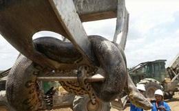 24h qua ảnh: Phát hiện con trăn khổng lồ dài 10m ở Brazil