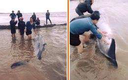 Cận cảnh giải cứu cá voi tại Nam Định