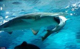 Cá mập ăn thịt đồng loại vì xung đột lãnh địa