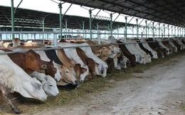 Đua nhập bò Úc giá bèo 3 USD/kg về vỗ béo bán thu siêu lợi nhuận