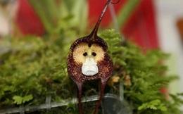 Thích thú ngắm loài phong lan hiếm có khuôn mặt cực giống khỉ