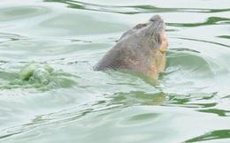 Hồ Hoàn Kiếm có ít nhất 5 cá thể rùa sinh sống?