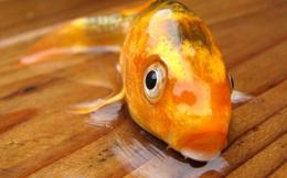 Vì sao cá không có cổ như các động vật khác?