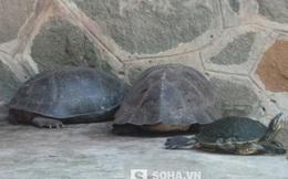 """Sự thật """"cụ rùa trăm tuổi"""" chết cùng lúc với rùa Hồ Gươm"""