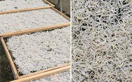 Cá cơm bao tử Nhật 1 triệu/kg: Giải ngấy sau Tết