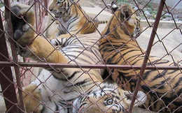 Vợ trùm buôn bán hổ Nghệ An được cấp phép nuôi hổ
