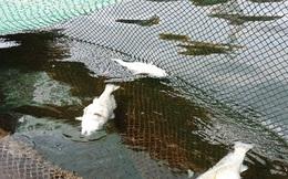 Thanh Hóa: Xuất hiện cả cá tự nhiên chết trên biển