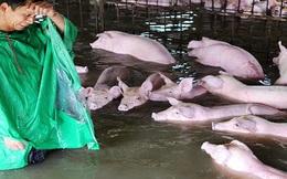 Người đàn ông khóc ròng khi phải bỏ lại 6.000 con lợn chìm trong biển nước