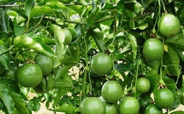 Thu lãi hàng trăm triệu/năm khi trồng loại cây rất phổ biến ở VN