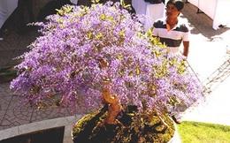 Ngỡ ngàng ngắm cây mai lạ có hoa màu... tím