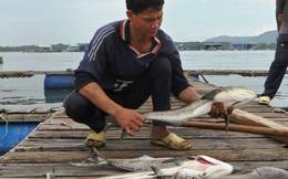 Cá chết hàng loạt, có hộ dân mất tiền tỷ sau 1 đêm