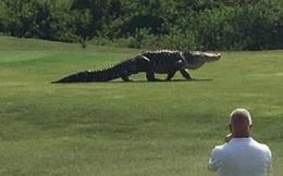 Rùng mình với cá sấu to xác, dài gần 5m tung tăng đi dạo trong sân golf