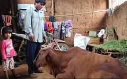 Dân lại khổ vì vay tiền mua bò dự án mắc bệnh