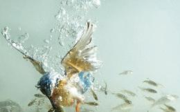 Mê mẩn với bộ ảnh chim bói cá săn mồi ở tốc độ cực cao