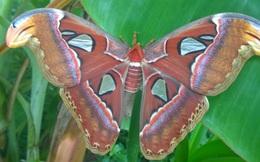 Bạc Liêu: Hoang mang trước sự xuất hiện đàn bướm khổng lồ