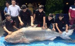 """Cá tra """"khủng"""" vào nhà hàng ở Sài Gòn, giá 1,5 triệu đồng/kg"""