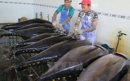 Nghề đánh cá ngừ đại dương lãi cao nhờ giá dầu giảm