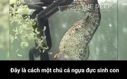 [Video] Dám chắc chưa bao giờ bạn được xem cá ngựa đực đẻ ra cả ngàn con như thế này