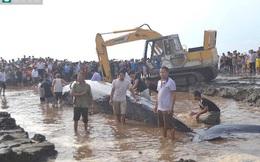 Đào vũng giải cứu cá voi 10 tấn mắc cạn ở Nghệ An