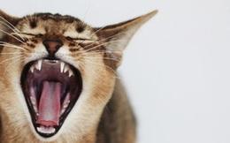 Cặp vợ chồng hốt hoảng gọi cứu hộ vì bị... mèo cưng bắt làm con tin