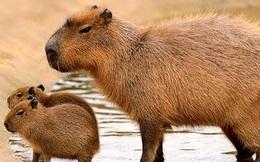 Theo bạn: con chuột to nhất thế giới to bằng ngần nào?