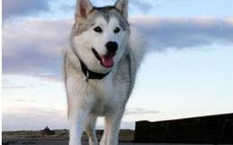 Câu chuyện khó tin về những chú chó dũng cảm đã cứu sống cả một thị trấn