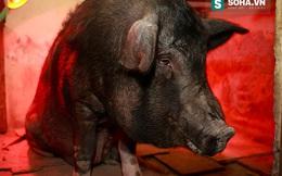 """Phỏng vấn con lợn """"biết chửi người"""" ở Liên đoàn xiếc Việt Nam"""