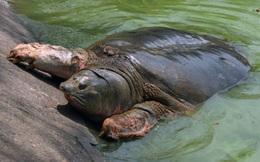"""Đã có dự báo trước về sự qua đời của """"cụ rùa"""" Hồ Gươm từ năm 2011"""