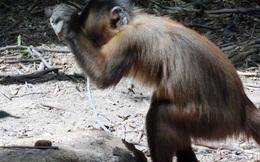 Lũ khỉ ở Brazil đã chính thức tiến hóa: biết... đập đá chế đồ