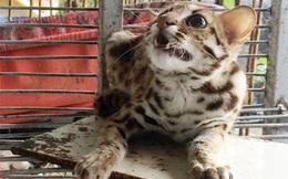 Một nông dân ở Hậu Giang bắt được mèo rừng