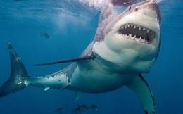 Vì sao không thủy cung nào trên thế giới dám nuôi cá mập trắng?