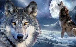 Chuyện sinh tồn của loài sói và bài học cho con người