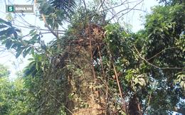 """Cận cảnh cây sưa 100 tỷ được """"áo giáp sắt"""" hàng chục mét bảo vệ ở Hà Nội"""