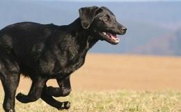 Vì sao chú chó này có thể vượt qua hơn 400 km để về với chủ cũ?