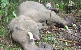 Vì sao chúng ta không bao giờ nhìn thấy xác voi trong rừng?