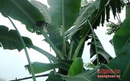Thực hư cây chuối báo điềm ở Nghệ An?