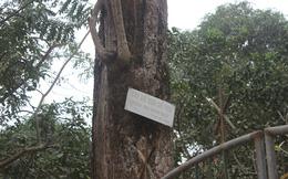 """Người trả giá 49 tỷ đồng mua cây sưa đỏ quý ở Bắc Ninh """"mất hút"""", công an đến tận nhà tìm"""