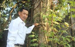 """""""Áo giáp sắt"""" hàng chục mét bảo vệ cây sưa 100 tỷ ở Hà Nội"""