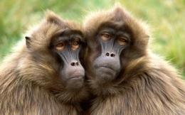 Một con khỉ đầu chó đã sống hơn 2 năm bằng một quả tim lợn, tiếp theo sẽ là con người?