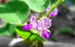 """Dược liệu quý """"khắc tinh"""" của sỏi thận mọc hoang ngay trong vườn nhà bạn"""