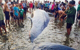 """Chùm ảnh quá trình giải cứu cá voi """"khủng"""" ở Nghệ An"""