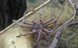 Khóc thét vì quái vật nhện khổng lồ to bằng con ghẹ