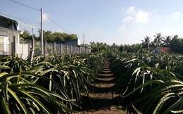 Trồng thanh long trên đất phèn lãi gấp 7 lần trồng lúa