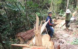 Vụ phá rừng pơ mu ở biên giới Quảng Nam: Kỷ luật nhiều cán bộ